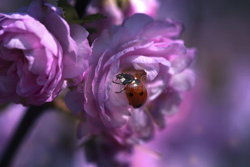 Biedronka na r??owym wiosna kwiacie fotografia stock
