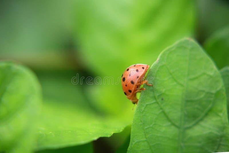 Biedronka na zielonej liść roślinie, zamyka up fotografia royalty free