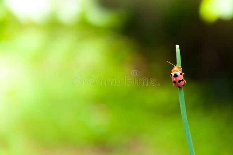 Biedronka na zielonej trawy liściu przy piękną zieloną naturą obrazy stock