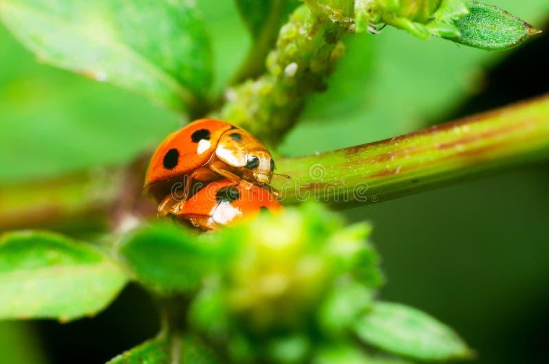 Biedronka reprodukuje na zielonych liściach fotografia royalty free