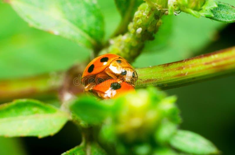 Biedronka reprodukuje na zielonych liściach zdjęcie stock
