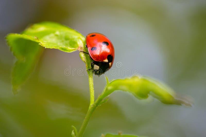 Biedronka w równowadze na małej roślinie zdjęcie stock
