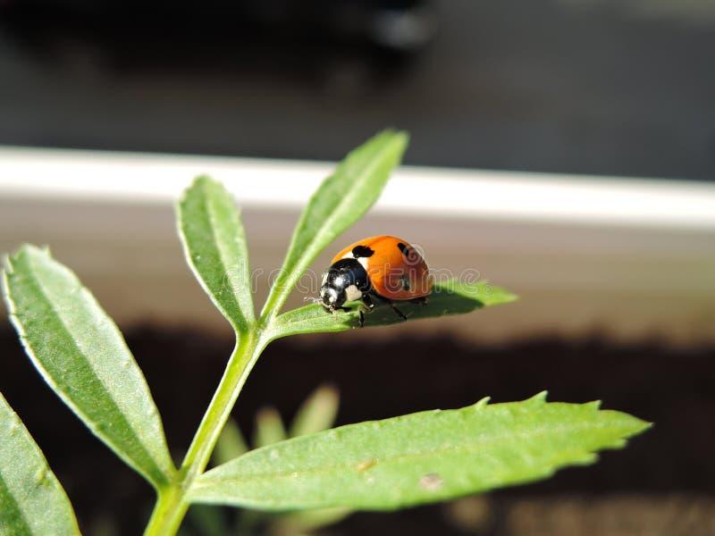 Biedronka z pollen na zielonym liściu obraz stock