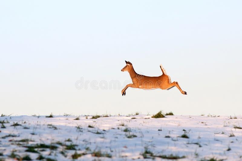 bieg jeleni whitetail zdjęcia royalty free