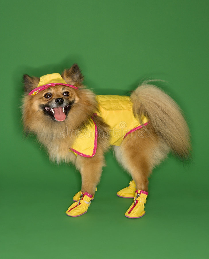 bieg psa nosić deszcz obraz royalty free