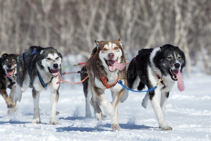 Bieg sania psa Alaska drużyna Kamchatka sania psa rasa Beringia, Rosja zdjęcia stock