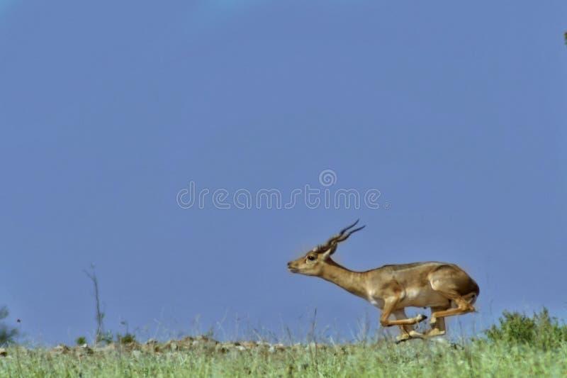 Bieg, bieg utrzymania biegać! Czarnej samiec utrzymania skacze nawet dla drobnych strachów fotografia royalty free