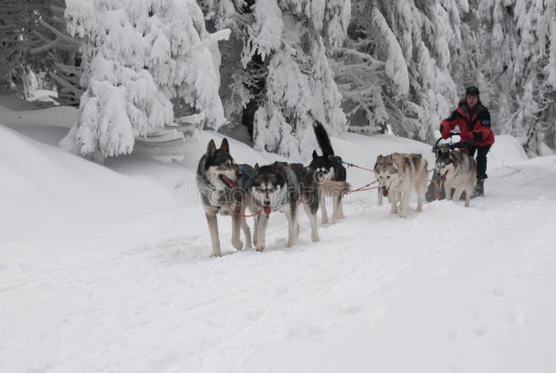 Biegać dogsled siberian husky obrazy royalty free