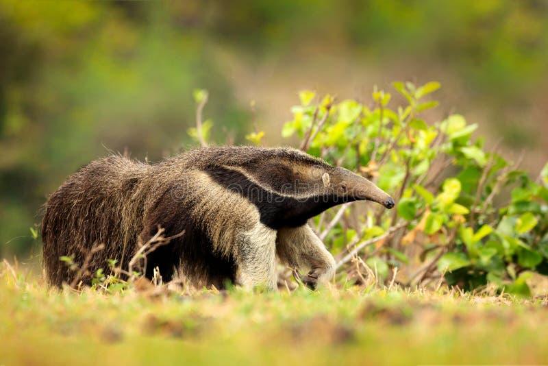 Biegać w pampasach Anteater, śliczny zwierzę od Brazylia Gigantycznego Anteater, Myrmecophaga tridactyla, zwierzęcy długi ogon i  obrazy stock