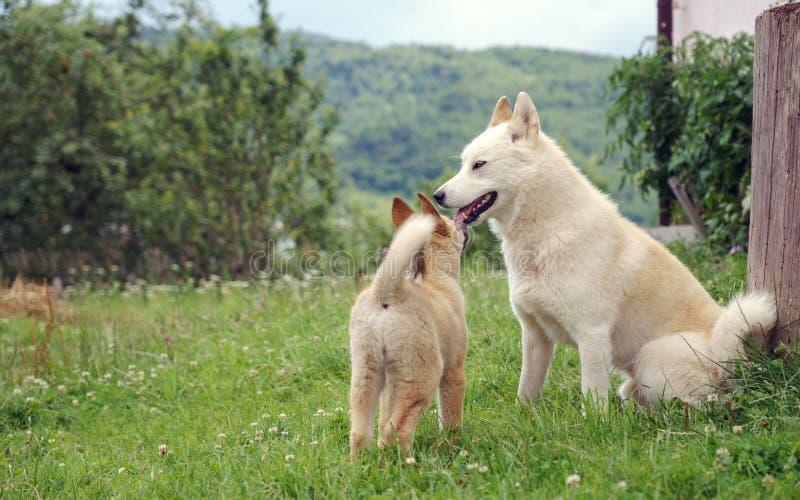 Biege Laika puppy playing around adult dog stock photos