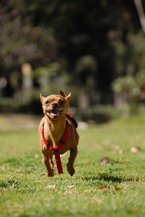 biegnij chihuahua zdjęcie royalty free