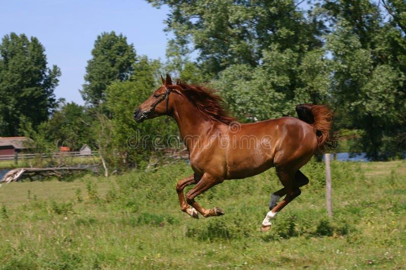 biegnij koń. fotografia royalty free