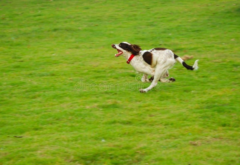 biegnij psa fotografia royalty free