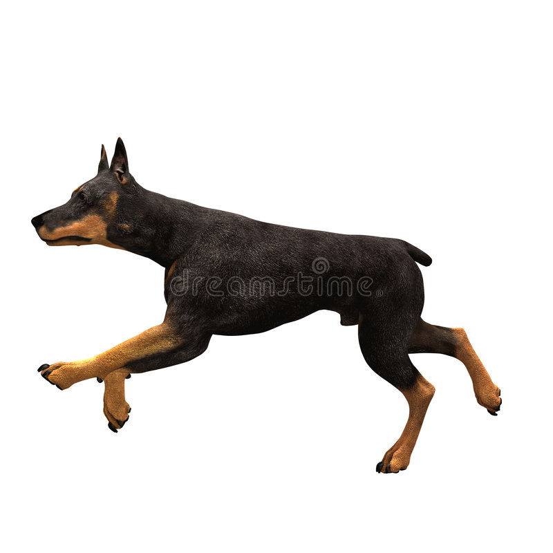 biegnij psi dobermana fotografia royalty free
