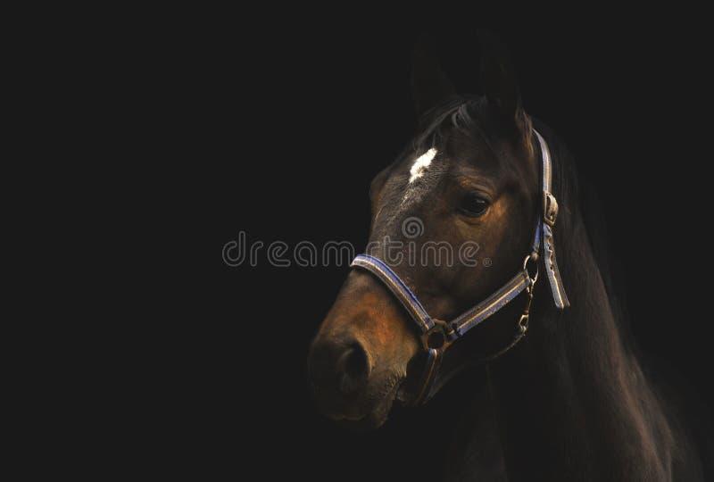 Biegowy koń na czarnym tle, Lithuania obraz royalty free