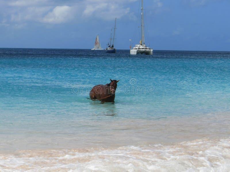 Biegowy koń przy Łódkowatym jardem Barbados obraz royalty free