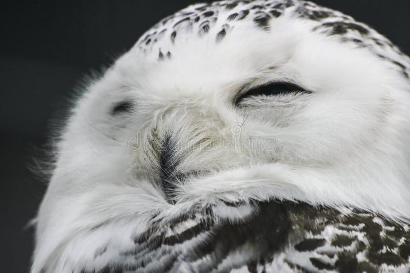 Biegunowa sowa zdjęcia stock
