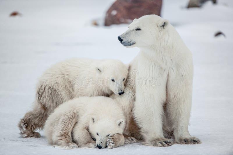 biegunowi niedźwiadkowi lisiątka Biegunowy niedźwiedź z dwa małymi niedźwiadkowymi lisiątkami na śniegu zdjęcie royalty free