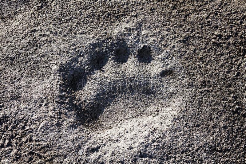 biegunowy niedźwiadkowy odcisk stopy obrazy stock