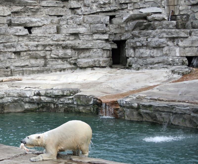 biegunowy niedźwiedź karmienia obraz stock