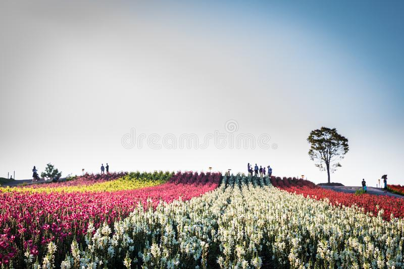 Shikisai-no-Oka Flower Hill and Lone Tree at Sundown. BIEI, HOKKAIDO, JAPAN - AUGUST 3, 2017: Colorful rows of blooms cover a rolling hill with a lone tree at royalty free stock image