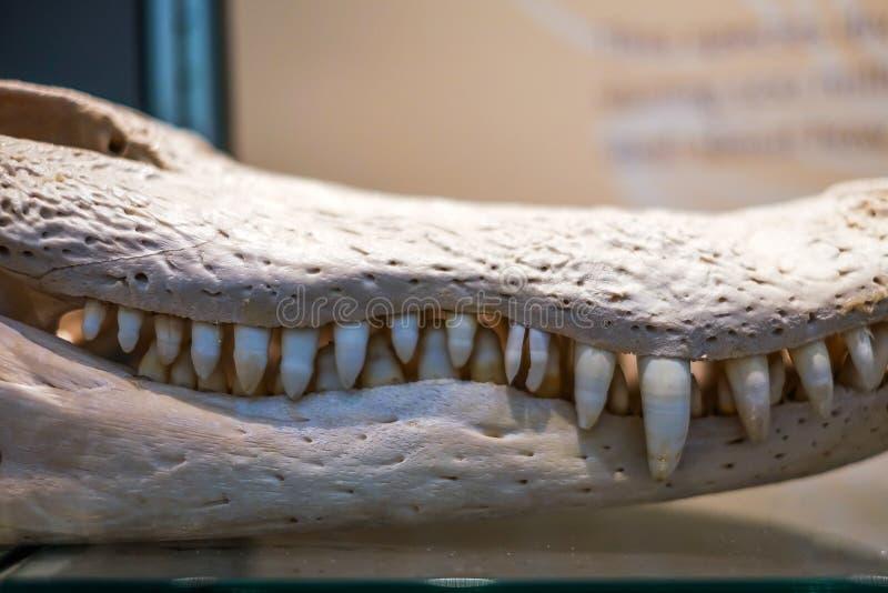 Bielący aligatora kościec obraz stock