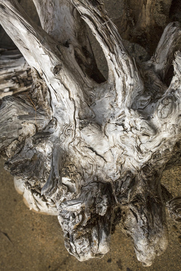 Bielący driftwood fiszorek z rogami, na plaży w Maine obraz royalty free