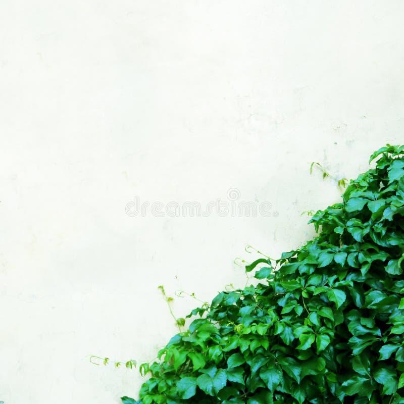 Biel ściana z rośliną fotografia stock