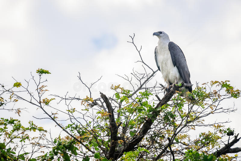 Biel bellied Dennego Eagle przy Corroboree Billabong NT Australia fotografia stock