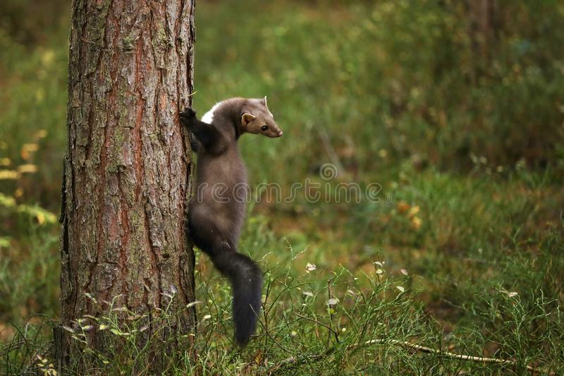 Biel breasted kuny na drzewie - Martes foina fotografia royalty free