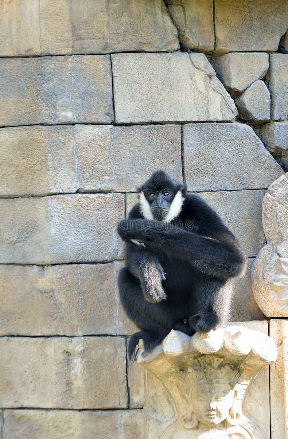 Biel cheeked Gibbon obraz stock