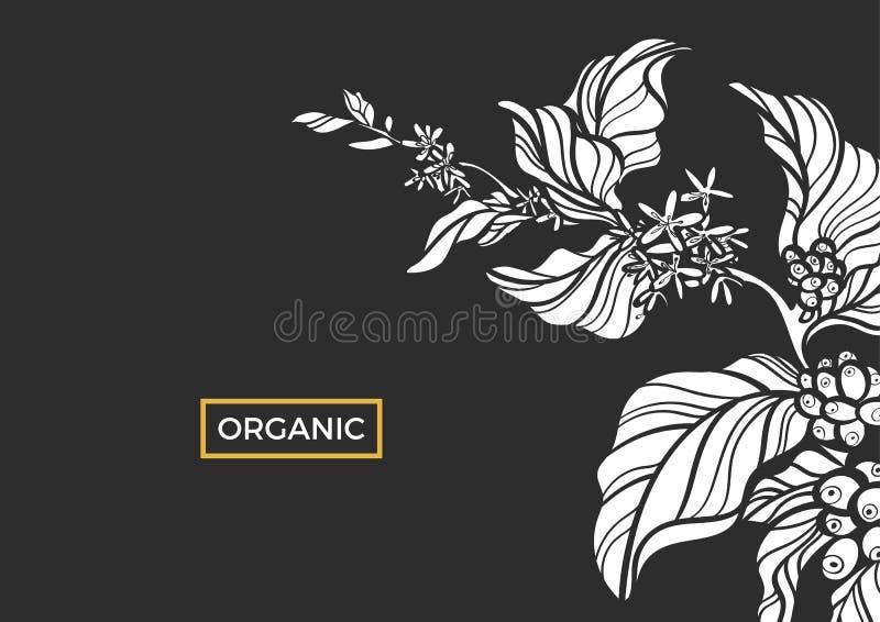 Biel gałąź kawowy drzewo z liśćmi, kwiatami i naturalnymi kawowymi fasolami, wektor royalty ilustracja