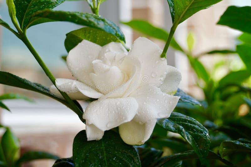 Biel gardenia jaśminowy kwiat w lecie zdjęcie royalty free