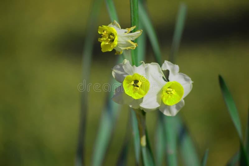 Biel i żółci kwiaty z tło plamą obrazy royalty free