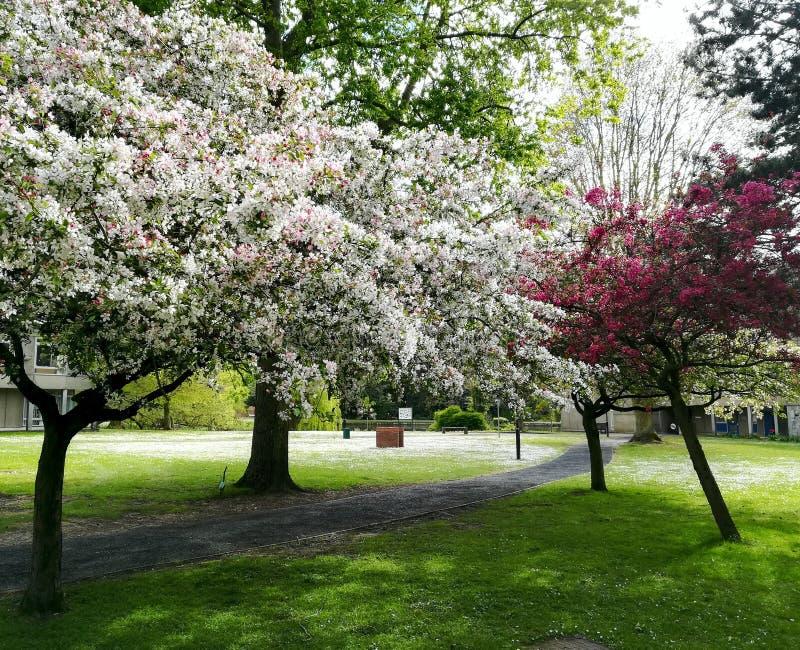 Biel i menchie kwitniemy drzewa przy uniwersytetem Jork zdjęcia stock