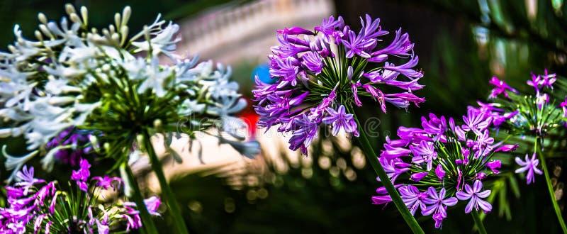 Biel i Purples obraz royalty free