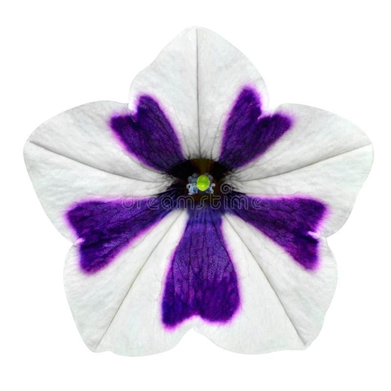Biel i Purpurowi lampasy na ranek chwały kwiacie Odizolowywającym obrazy stock