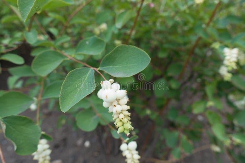 Biel jak pestczaki Symphoricarpos albus obrazy stock