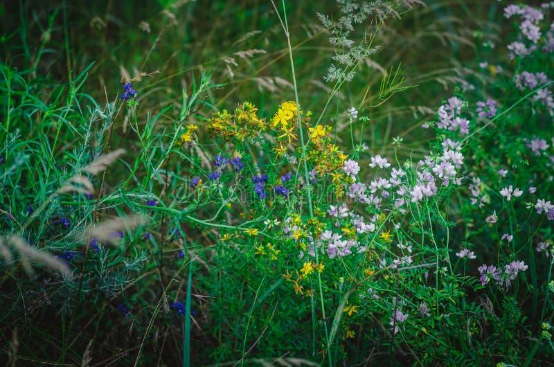 Biel, kolor żółty, bez, różowa łąkowa trawa w lata polu Barwiący leczniczy ziele w kraju polu Makro- mi?kkie ogniska, Sh zdjęcie stock