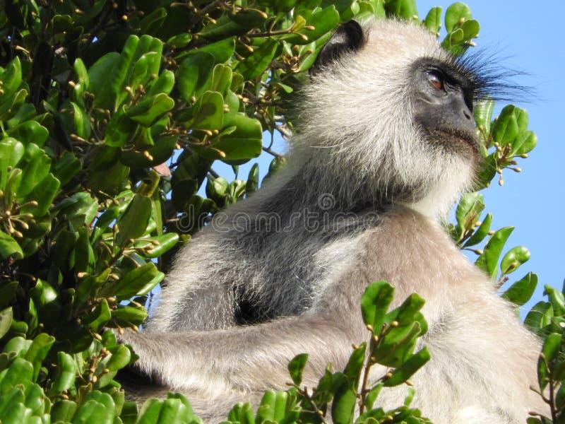 Biel małpa w naturalnym siedlisku zielony drzewo, Sri Lanka wyspy park obraz royalty free