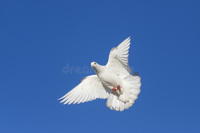 Biel Nurkujący na niebieskim niebie obraz stock