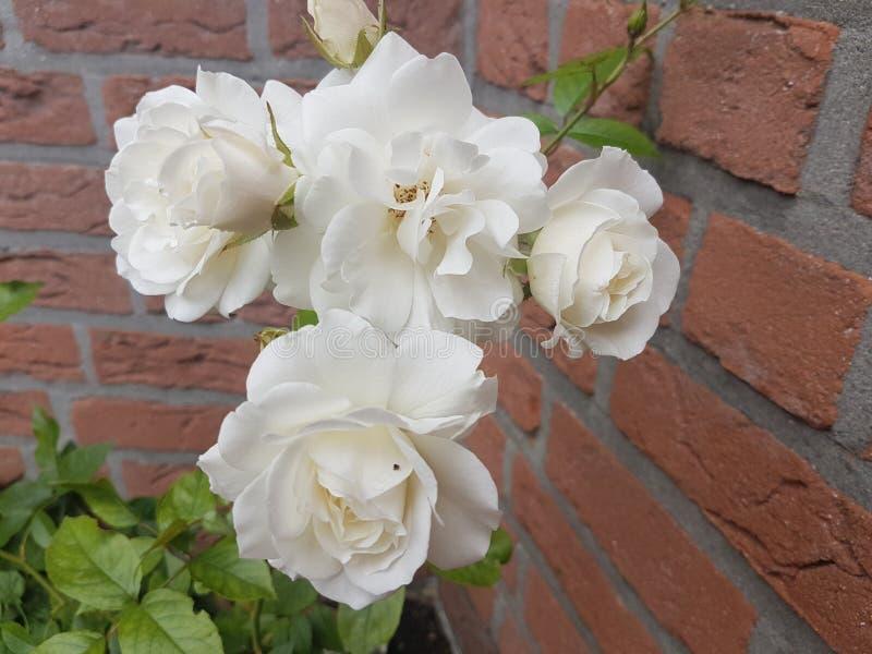 Biel ogrodowe róże obrazy stock
