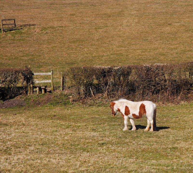 Download Biel Pastwiskowy Koński Biel Zdjęcie Stock - Obraz złożonej z wiejski, konik: 13332608