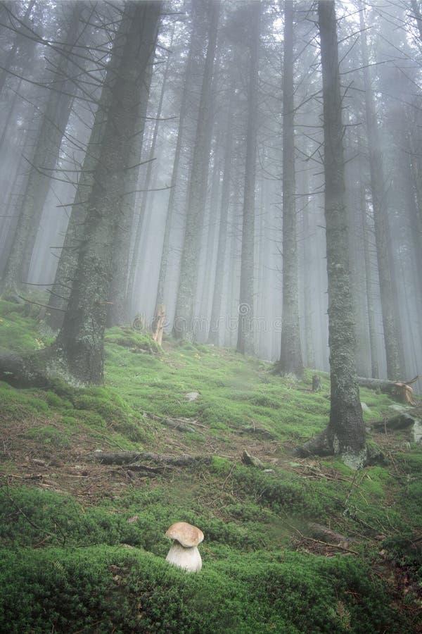 Biel pieczarka r w jedlinowym lesie pogoda jest bardzo mgłowa obrazy stock