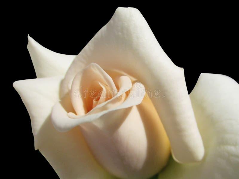 Biel róża na czarnym tle obraz royalty free