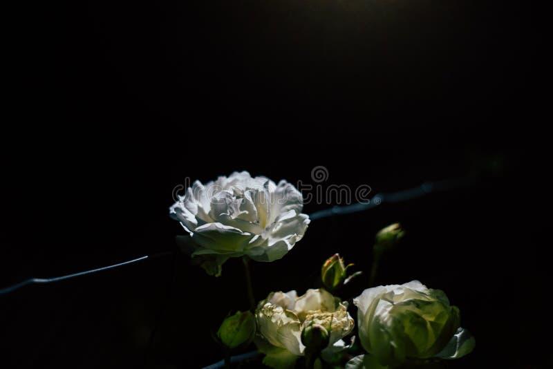 Biel róża na drucie z czarnym tłem przy nocą zdjęcia stock
