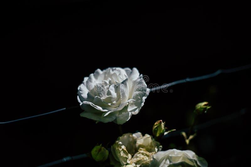 Biel róża na drucie z czarnym tłem zdjęcie royalty free