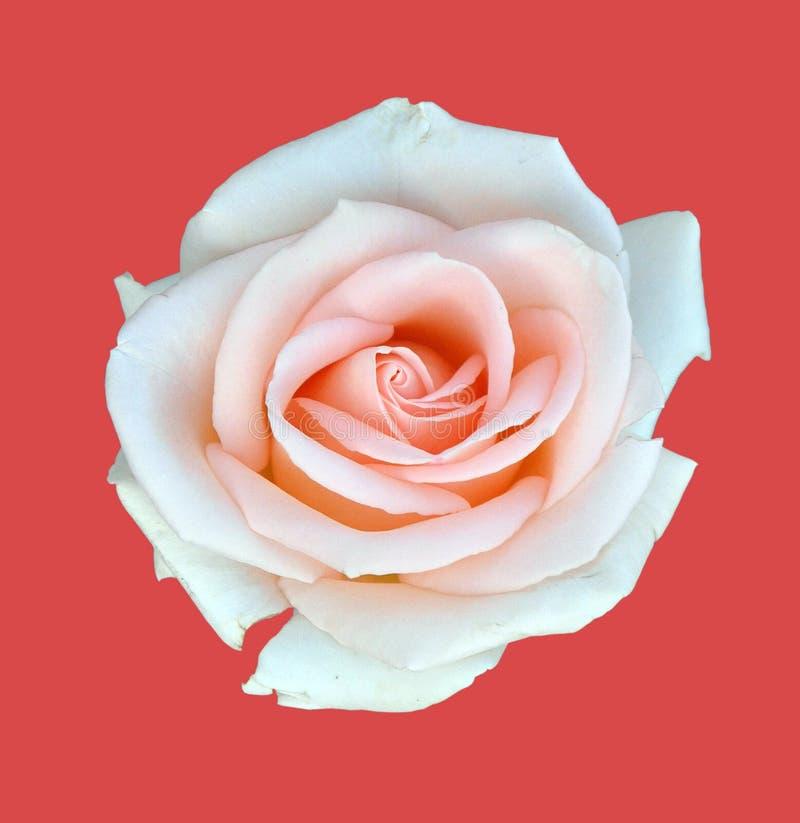 Biel róża odizolowywa na czerwieni zdjęcia royalty free