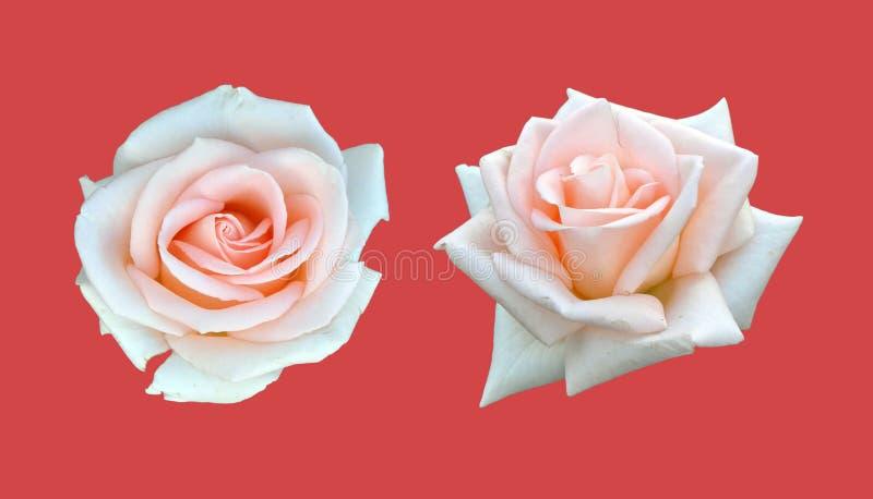 Biel róża odizolowywa na czerwieni fotografia stock