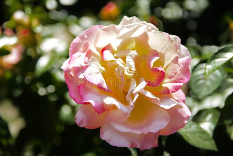 Biel róża przeciw w górę tła zieleń liście i b zdjęcie royalty free